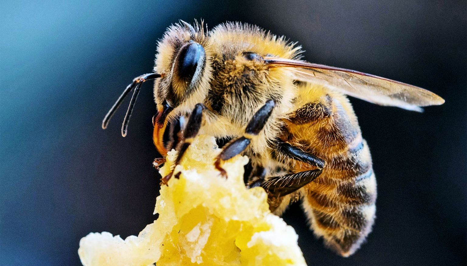 Now bees detect the Corona virus in a few seconds .. What is the story?