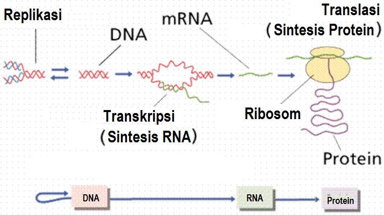 Catatan prestasi guru biologi dna dan sintesis protein gambar 9 dna sebagai pusat insformasi genetik ccuart Images