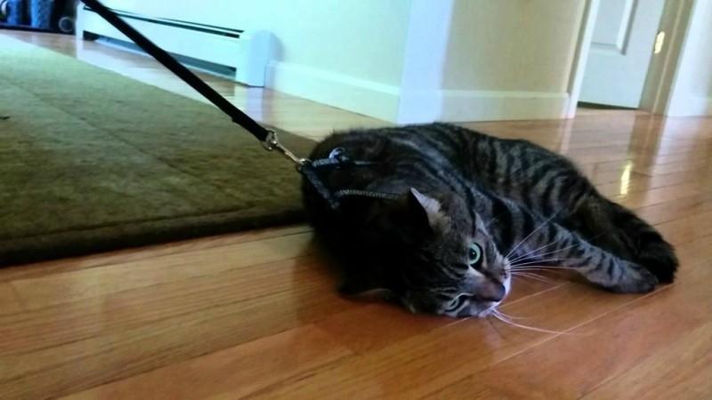 Γάτα κάνει την ψόφια για να μην πάει βόλτα! (βίντεο)