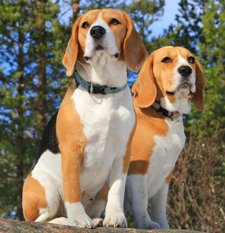 Cute Two Amazing Beagle Dogs