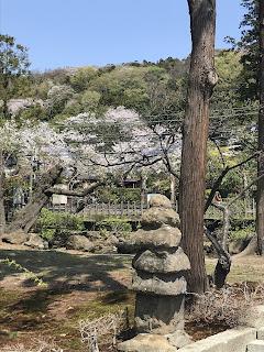 北鎌倉駅周辺の桜その3
