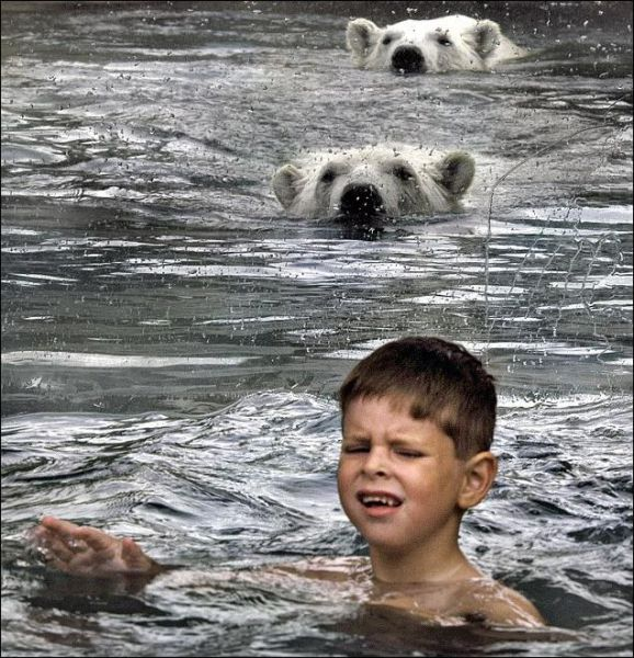 Cool Animals Pictures Swimming With Polar Bears