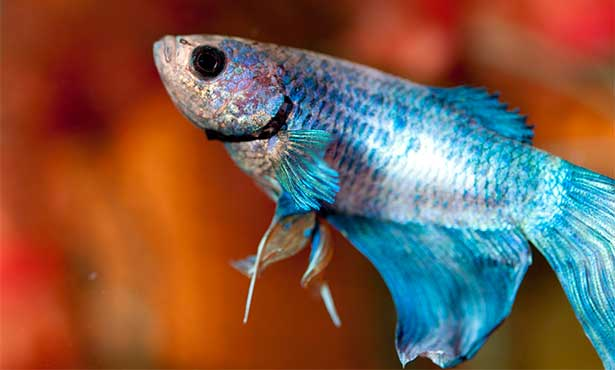 Pet Fish Health Problems and Treatments