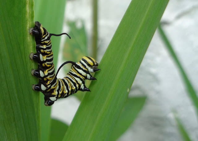 Monarch caterpillar on walking ibis