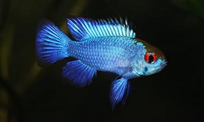 Ikan Ramirezi Blue Electric