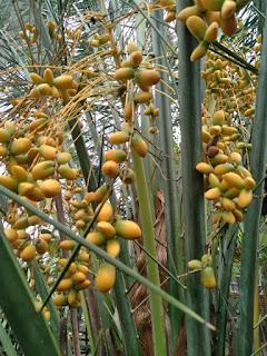Pohon korma berbuah