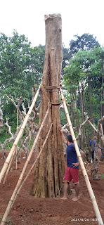 Pohon spatodea