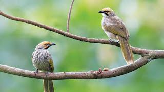 Bisnis penangkaran burung sangat menguntungkan, terutama cucak rowo