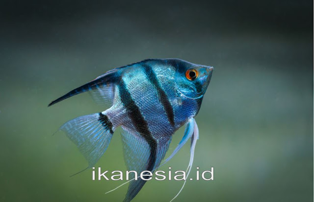 Jenis Jenis Ikan Manfish Atau Angelfish Lengkap Beserta Harganya