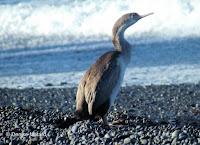 Spotted shag juvenile, Kaikoura pebble beach, NZ - by Denise Motard, Feb. 2013