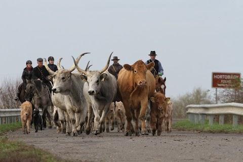 Több száz marhát hajtottak be a Porszem Lovas Egyesület lelkes tagja