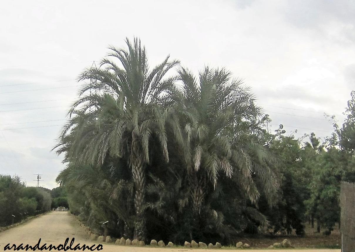 Parquealamillo encinarosa palmera canaria phoenis for Vivero del parque