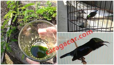Perasan daun saga untuk menyembuhkan serak pada burung kolibri ninja