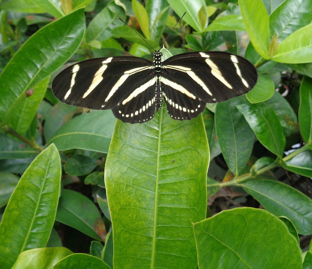 Freshly Emerged Zebra Longwing Spreading Its Wings