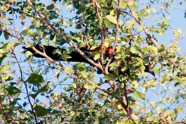 Greater Coucal hiding behind the branches. They are usually seen shy in nature