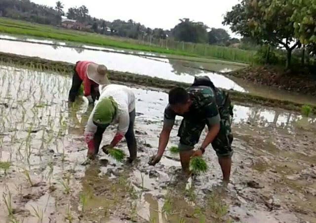 Penanaman Padi Mikongga di Desa Sidomulyo Didampingi Babinsa Koramil 16/Binjai Utara Serda R. Manik