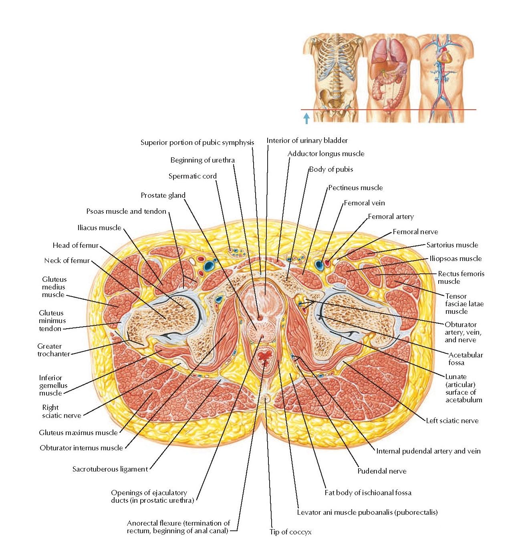 Male Pelvis: Cross Section of Bladder Prostate Gland Junction Anatomy