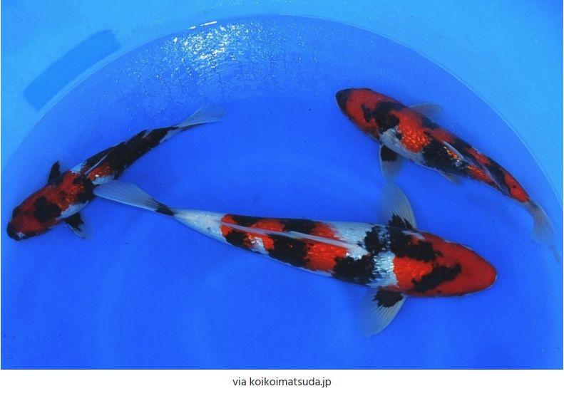 Jenis-Jenis Ikan Koi Showa Sanshoku