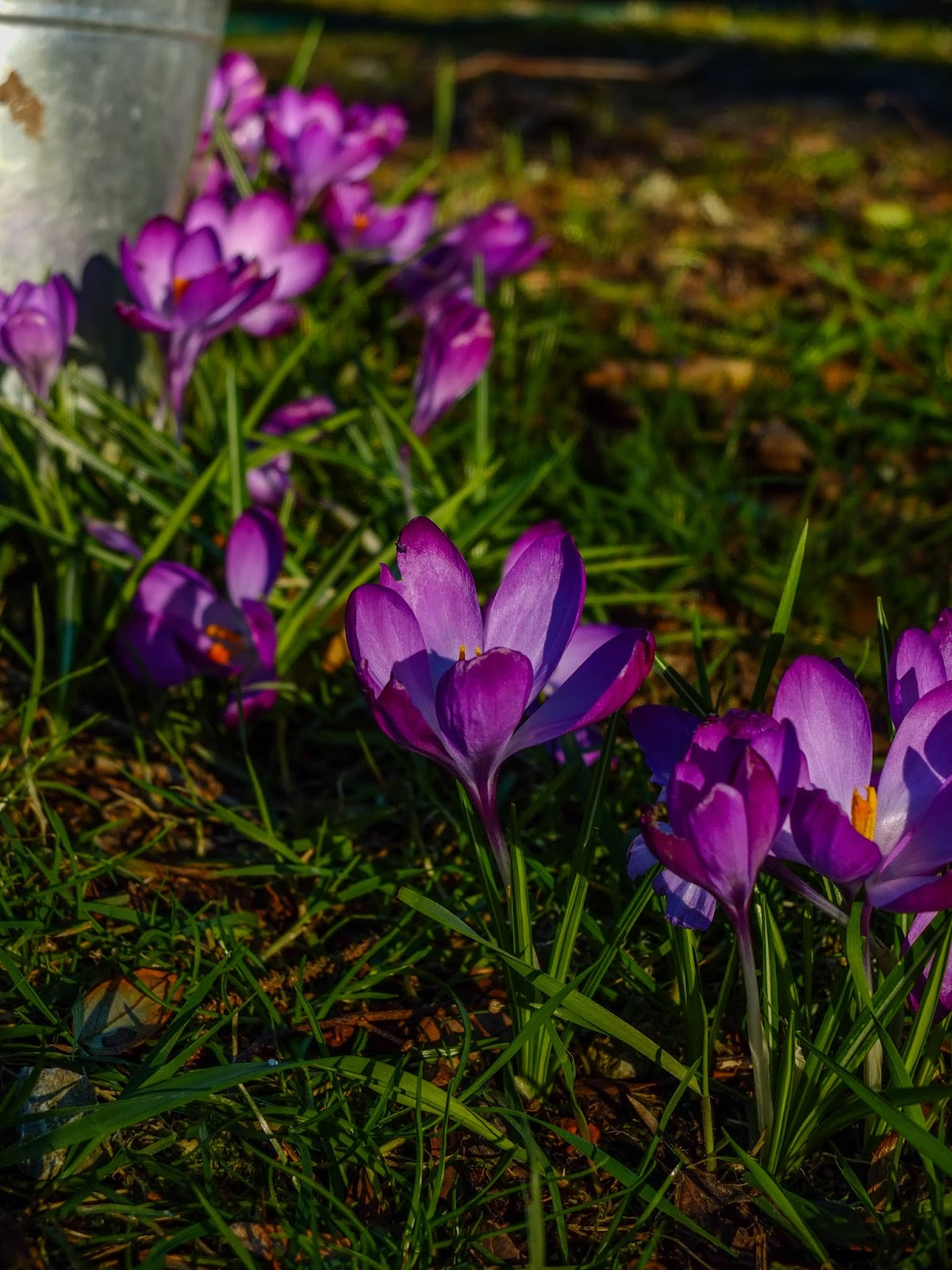 Crocuses growing in grass under a bush.