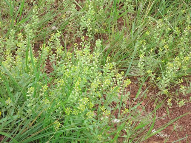 alyssum, Alyssum simplex