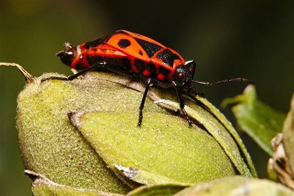 Öpücük böceği -  Ö Hayvan İsimleri