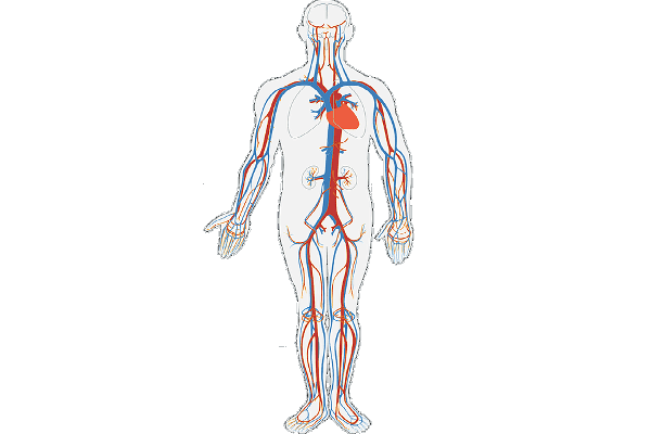 Sistem Peredaran Darah Manusia beserta Gangguannya