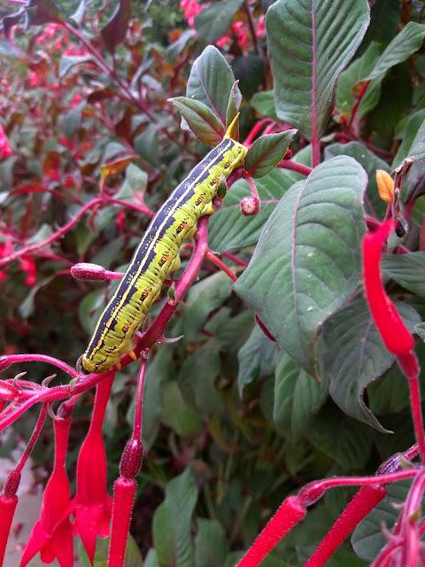 Humming Bird Moth Caterpillar