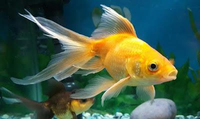 Are Goldfish Omnivores?
