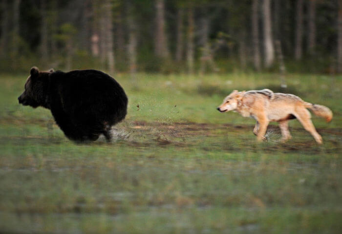 Majestic Pictures Depict The Unique Friendship Between A Grey Wolf And A Brown Bear