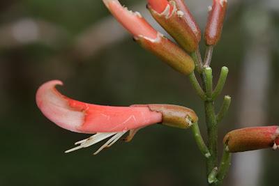 Erythrina spp.