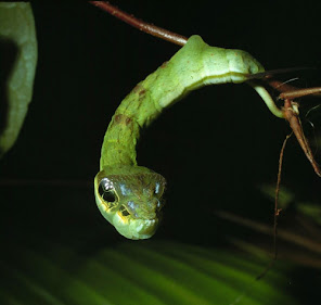 Hawk Moth caterpillar in its snake disguise. It's hanging of a brown branch in front of a black background.