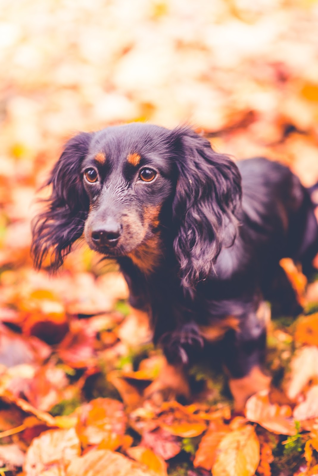 hetty dachshund puppy autumn liquid grain liquidgrain blog