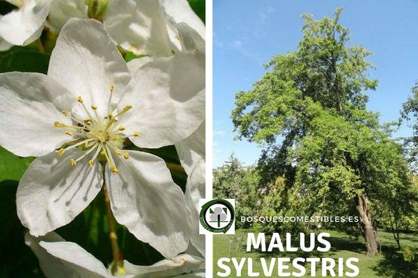 Malus sylvestris, Manzano Silvestre, Género Malus, familia Rosáceas.