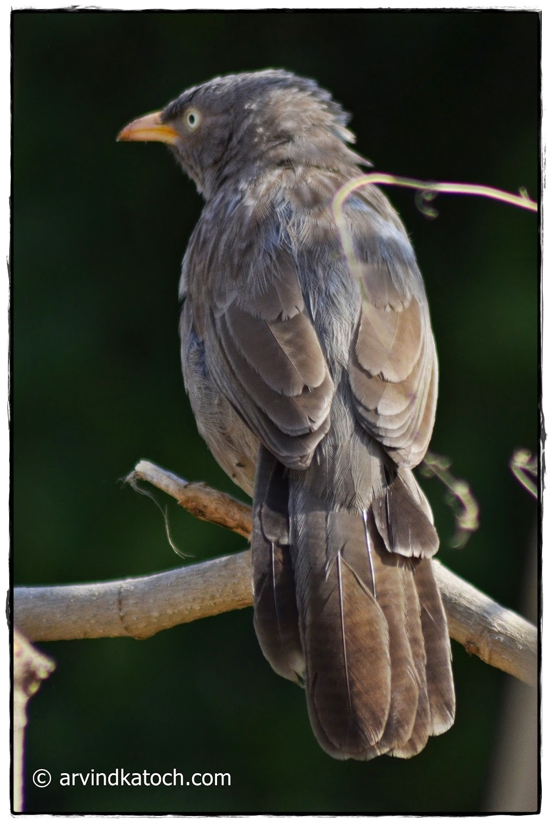 Back, Backside, Jungle Babbler