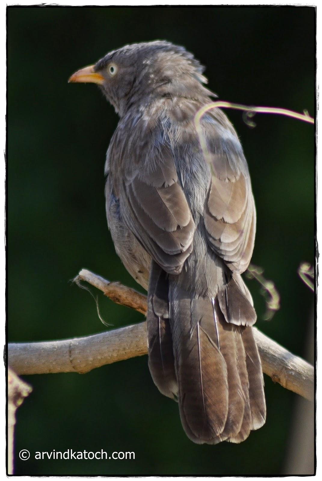 Back, Backside, Jungle Babbler