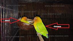 https://www.mysomer.com/2019/11/tanda-untulan-tidak-cocok-pada-gacoan-lovebird-betina-dewasa.html