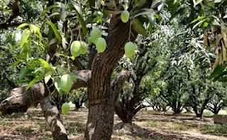 mango-farmer-in-trouble