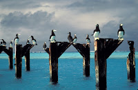 Brown boobies stake out positions atop the posts of an old pier, Johnston Atoll NWR Lindsey Hayes, USFWS