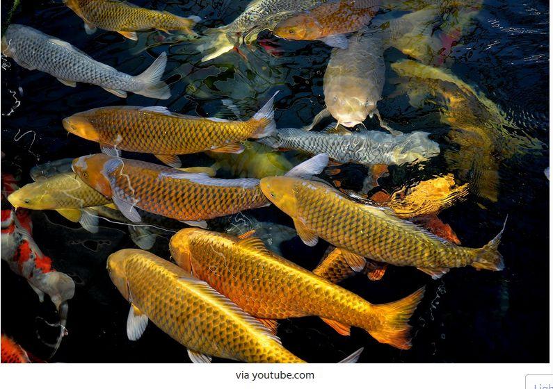 Jenis-Jenis Ikan Koi Chagoi