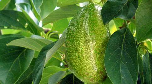 folha  abacate