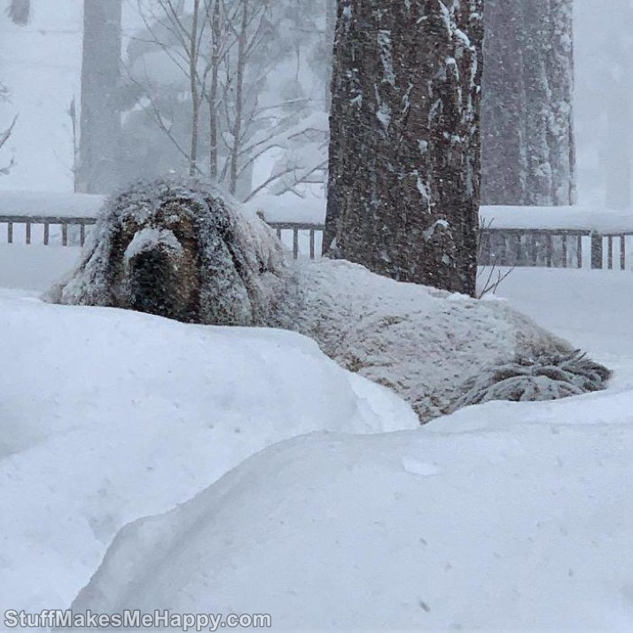 7. Great camouflage! Tibetan Mastiffs Dogs Pictures