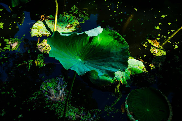 Lotus leaf about to wither