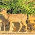 Antílopes e cervos no Ceará? Fazenda abriga animais exóticos em Caucaia