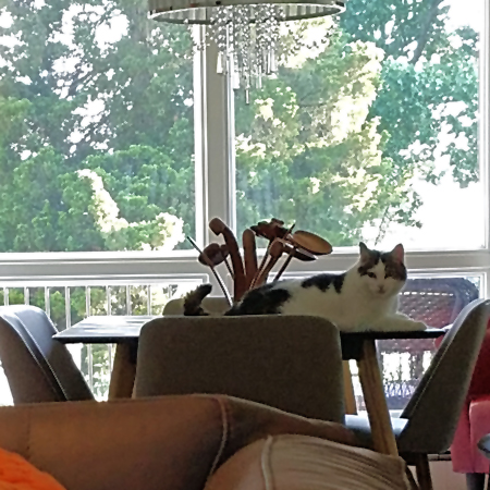 image of Olivia the White Farm Cat lying on the dining room table
