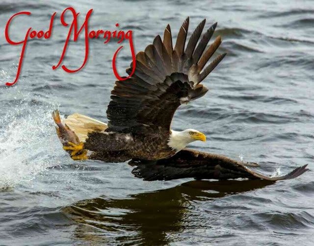 Good morning bird image of bald eagles