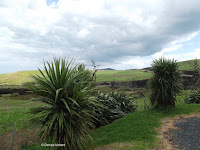 Flax, Cape Reinga, northern tip of the North Island, New Zealand