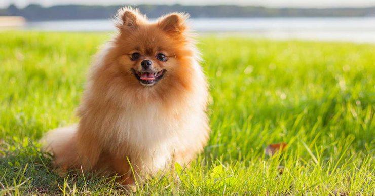 Fakta tentang Anjing Pomeranian, Ras Badan Mungil yang Tak Takut ...