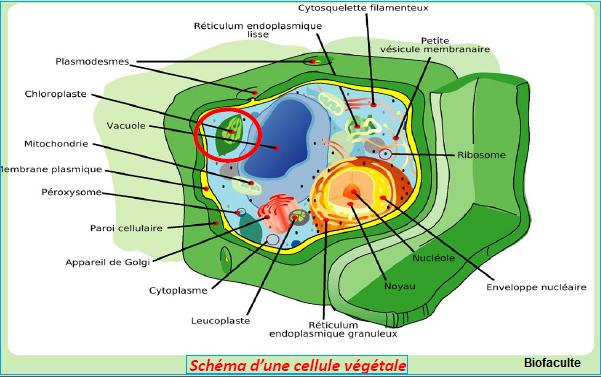 cellule végétale