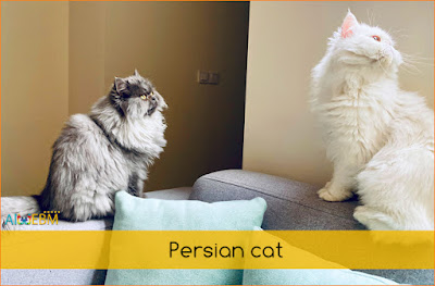 best cat breeds, Persian cat