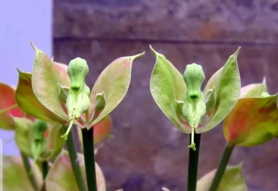 Tanaman hias bunga Cucak Rowo Jawa Barat